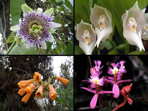 Inkaico la flora del peru for Especies ornamentales