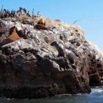 leones_marinos_islas_ballesta
