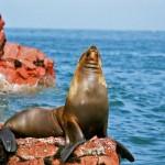 lobo de mar paracas