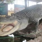 Purussaurus-museo-de-historia-natural