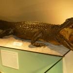 caiman-negro-museo-de-historia-natural
