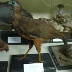 pava-ala-de-hoz-museo-de-historia-natural